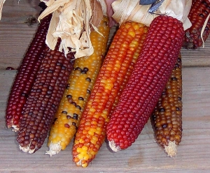 corn800x6003