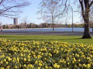 daffodilsatdowslake